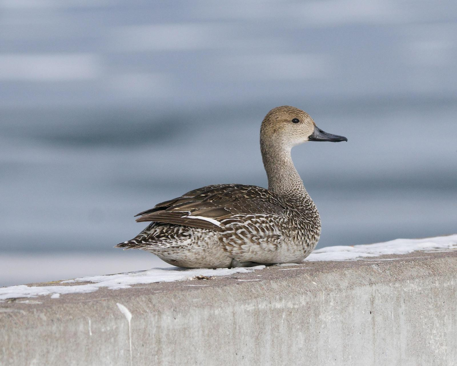 Northern Pintail Photo by Gerald Hoekstra