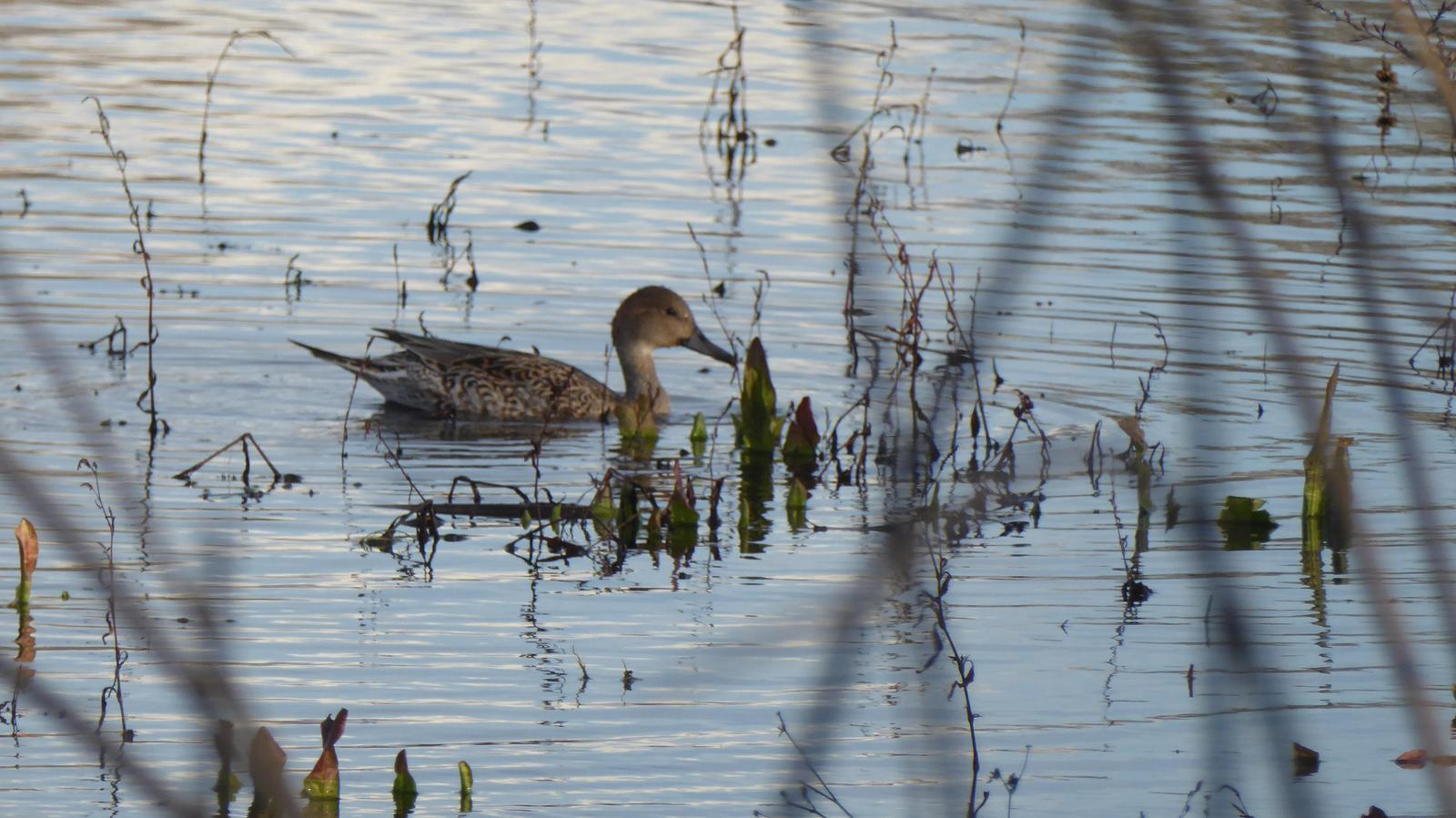 Northern Pintail Photo by Daliel Leite