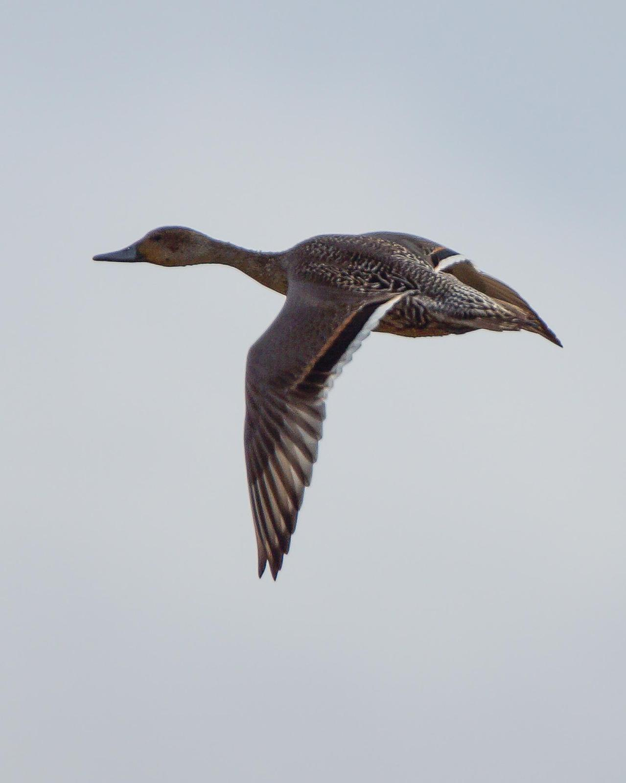 Northern Pintail Photo by Steve Percival