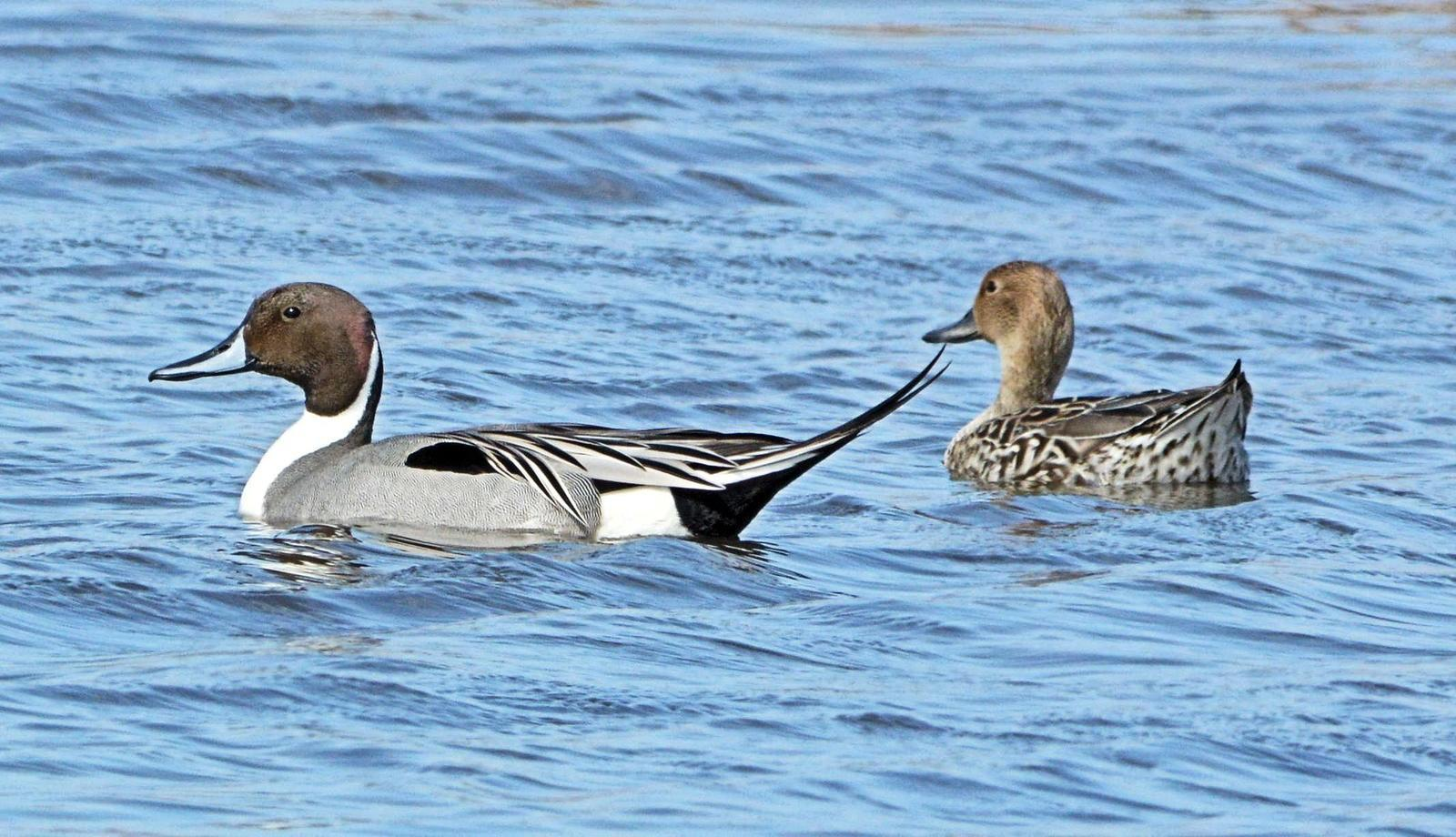 Northern Pintail Photo by Jeannette Piecznski