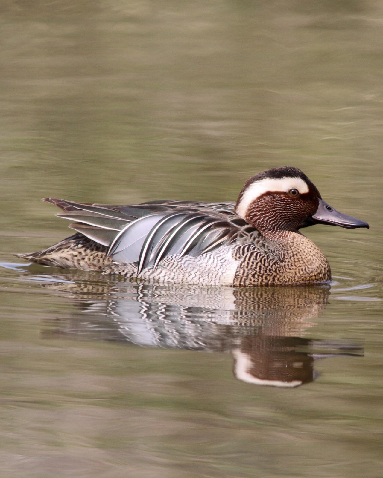 Garganey Photo by Kasia  Ganderska Someya