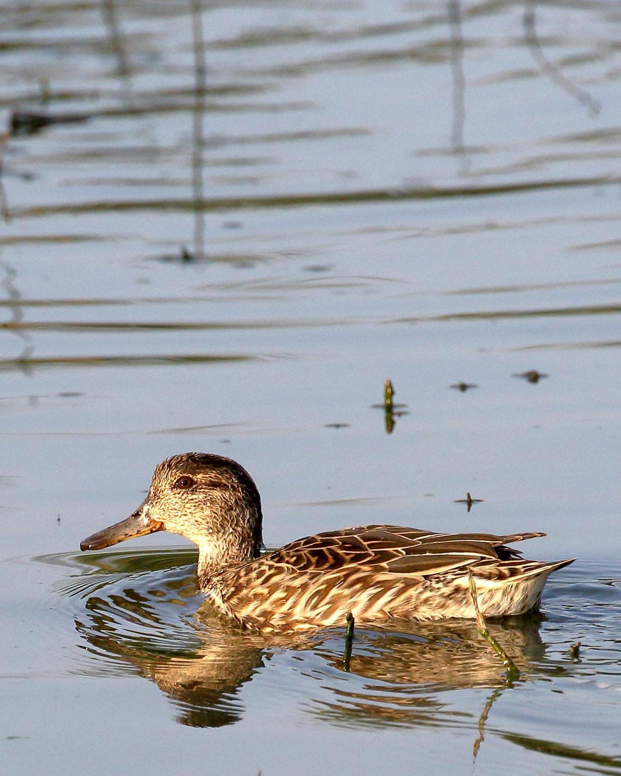 Green-winged Teal Photo by Rahul Kaushik