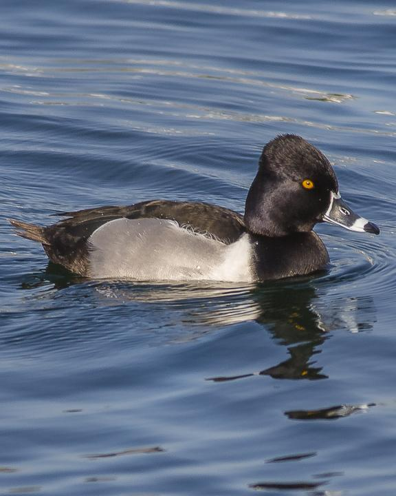Ring-necked Duck Photo by Anthony Gliozzo