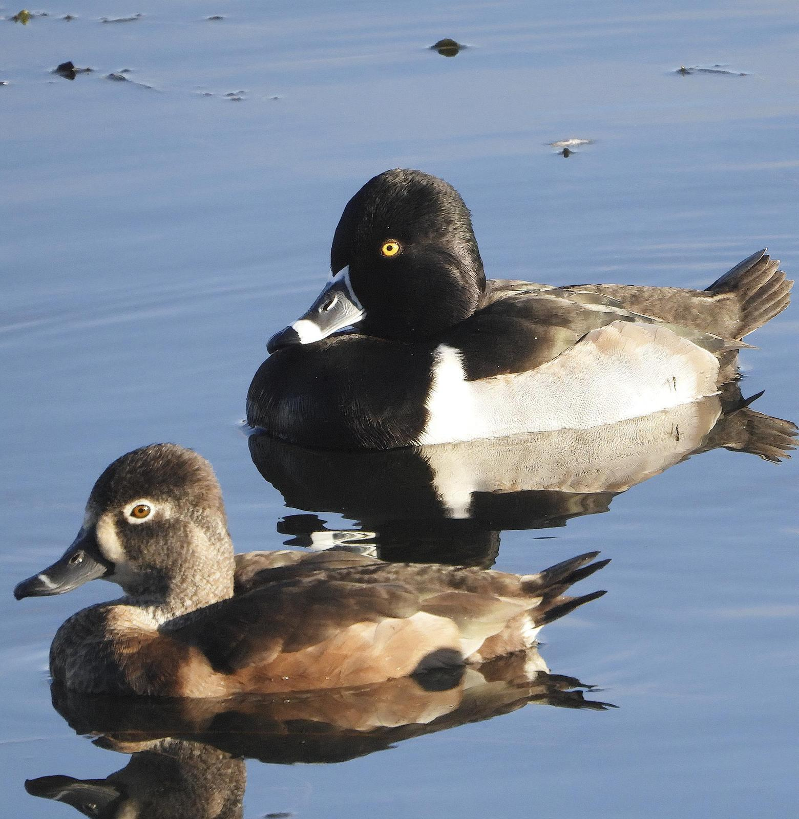Ring-necked Duck Photo by Dan Tallman