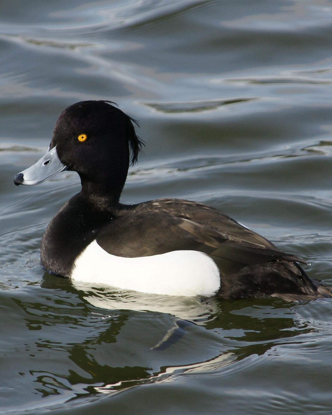 Tufted Duck Photo by Steve Percival