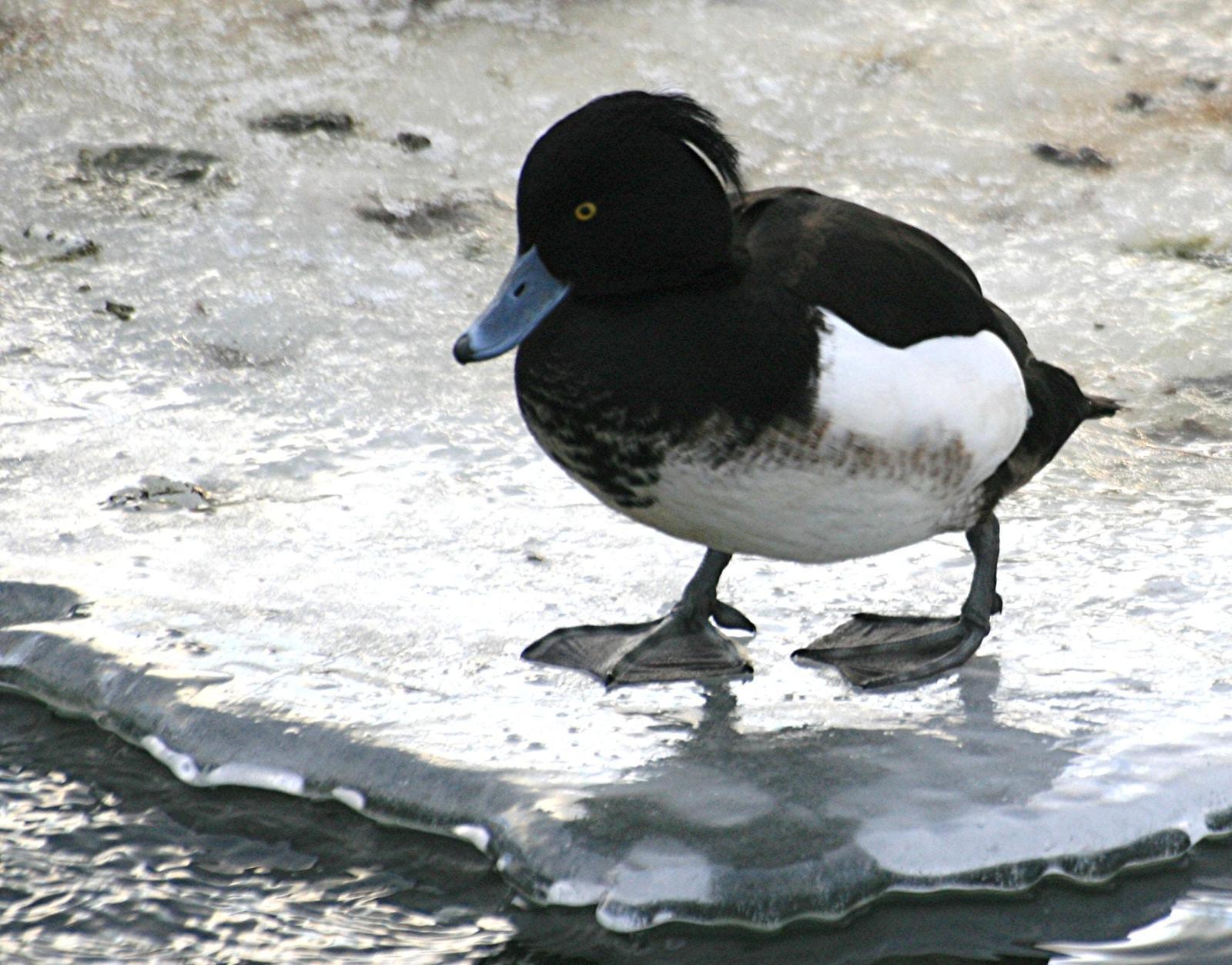 Tufted Duck Photo by Aaron Hywarren