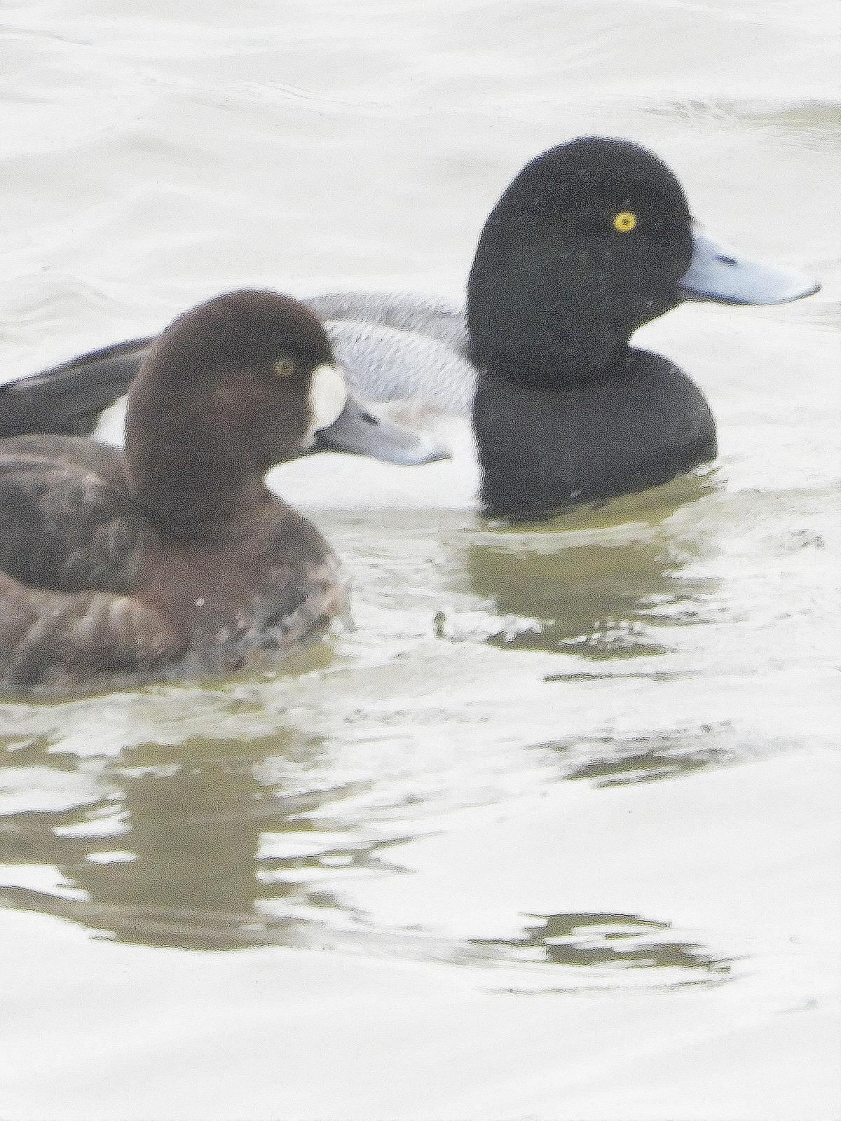 Greater Scaup Photo by Dan Tallman