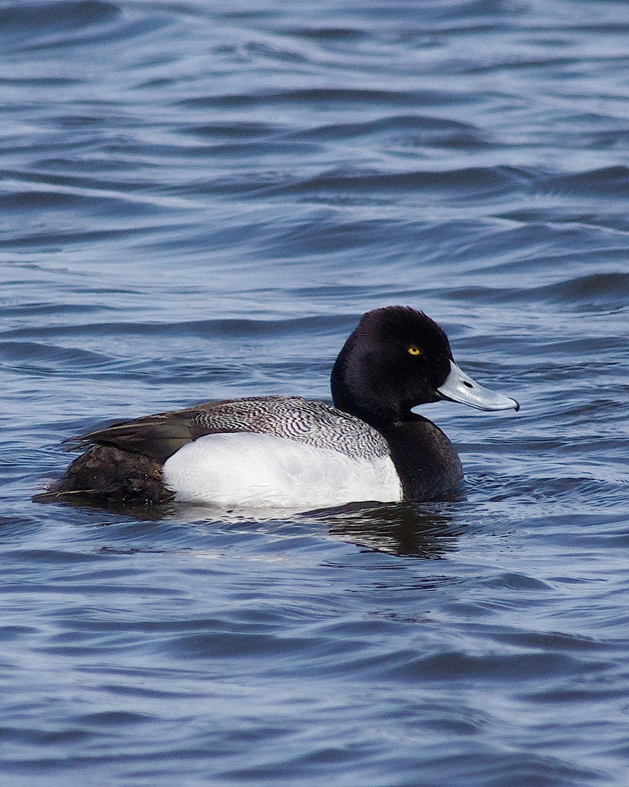 Lesser Scaup Photo by Gerald Hoekstra