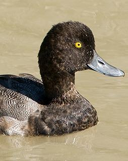 Lesser Scaup Photo by Pete Myers
