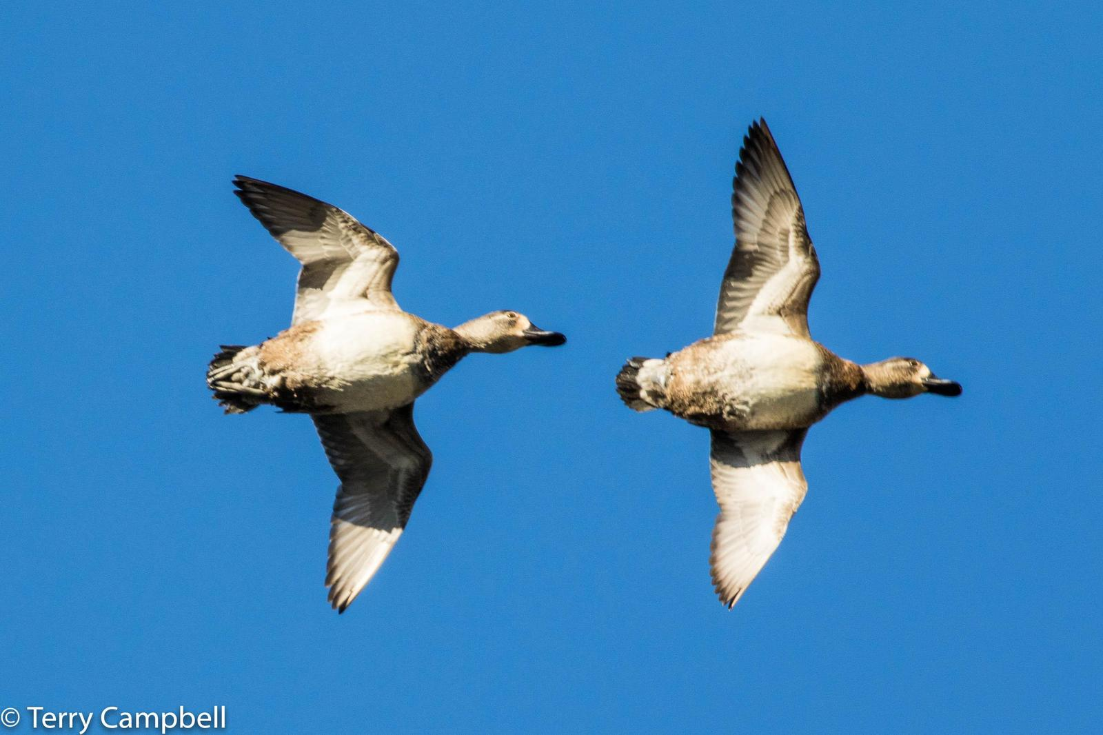 Lesser Scaup Photo by Terry Campbell