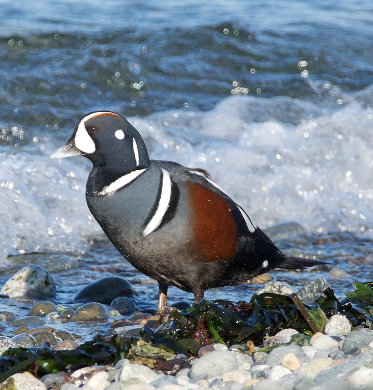 Harlequin Duck Photo by Brian Avent