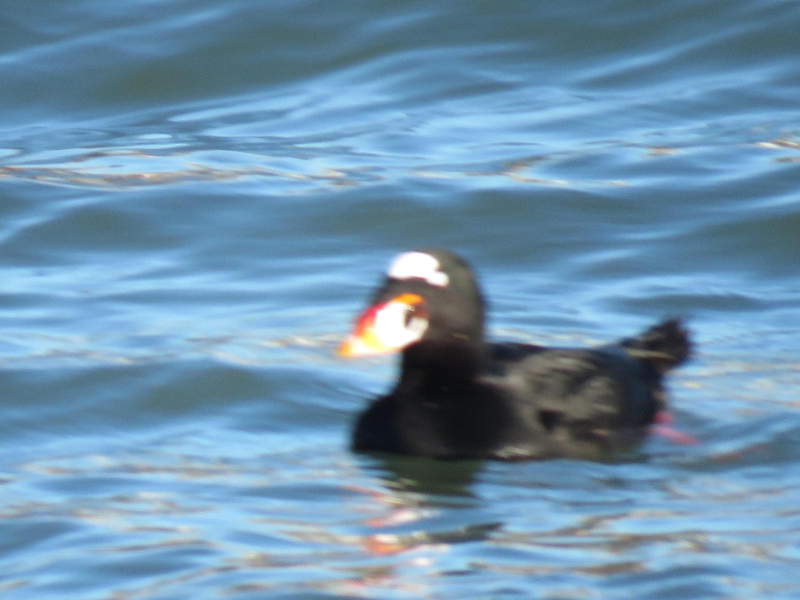 Surf Scoter Photo by Ted Goshulak
