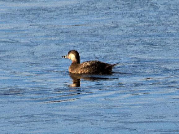 Black Scoter Photo by Dan Tallman