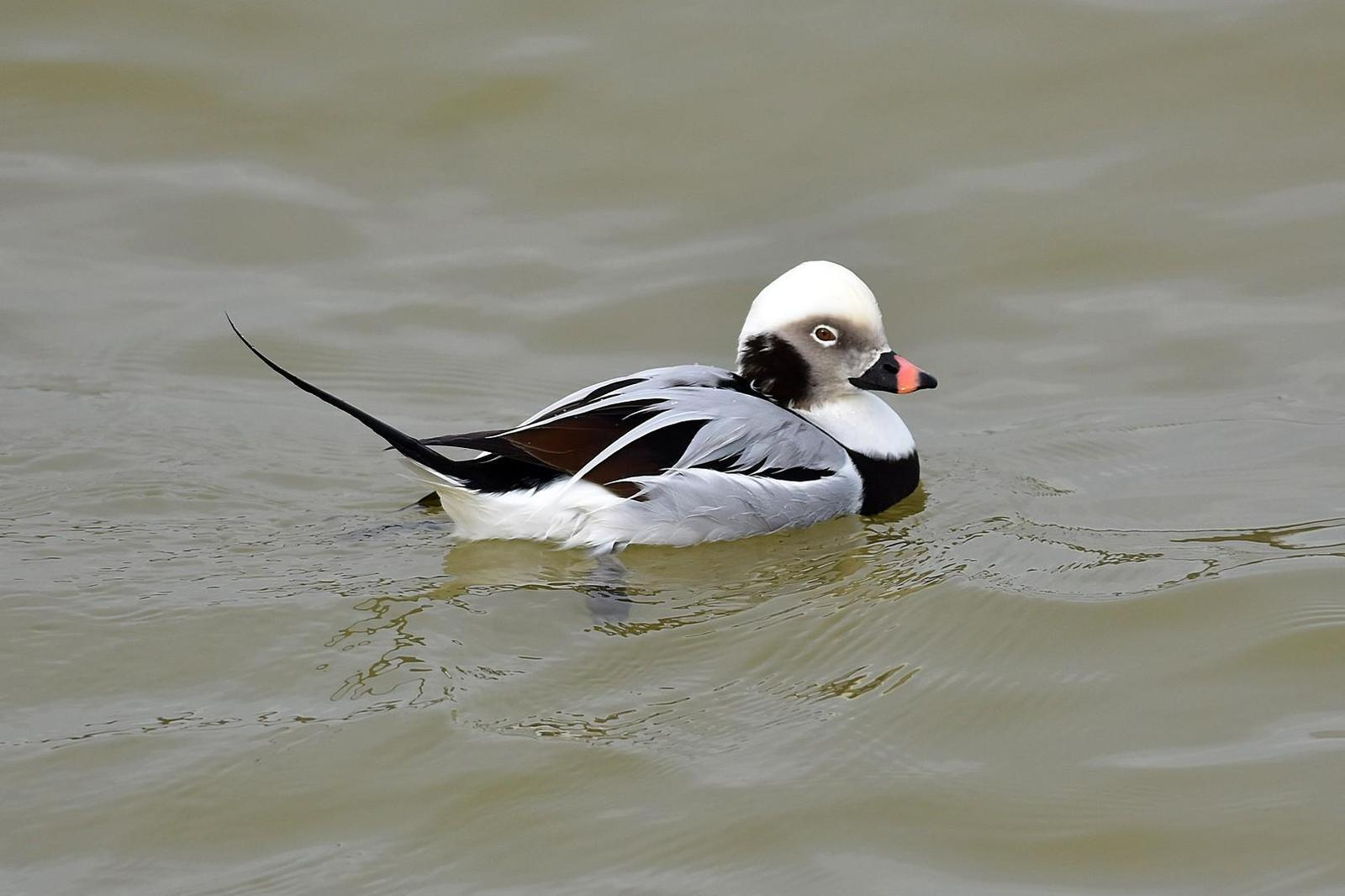 Long-tailed Duck Photo by Joel Trick
