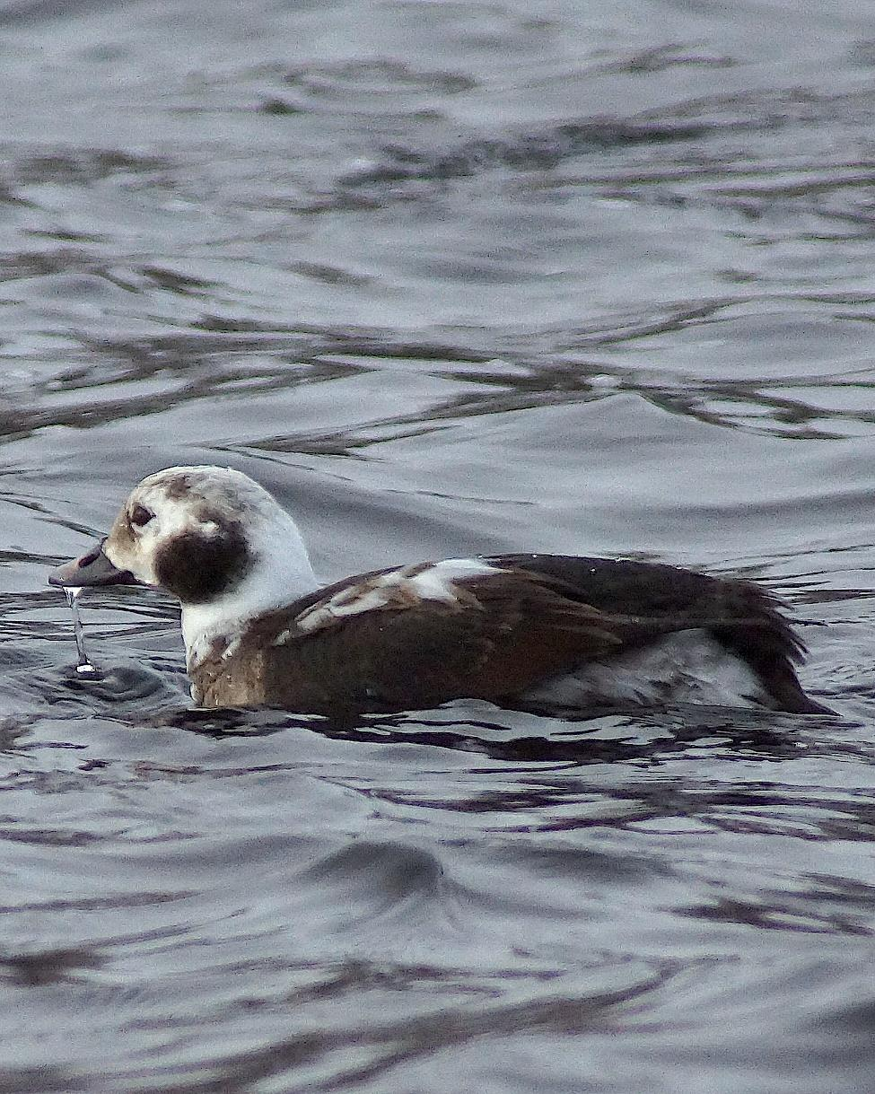 Long-tailed Duck Photo by Gerald Hoekstra