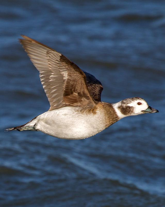 Long-tailed Duck Photo by Ashley Bradford