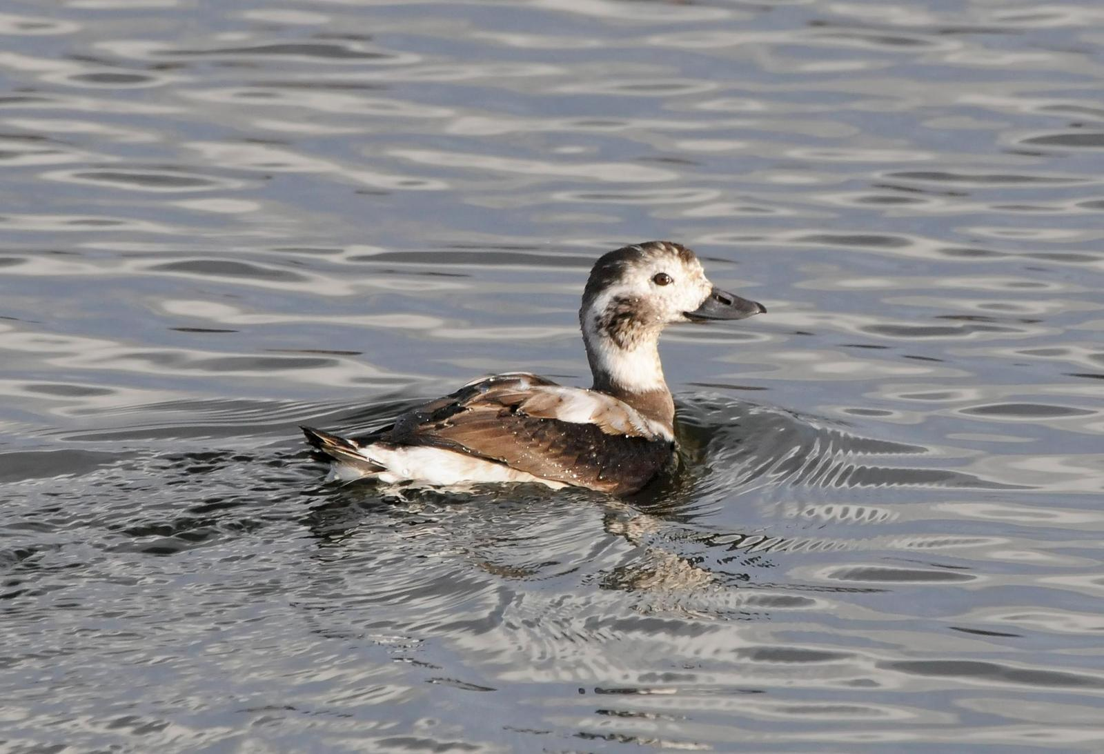 Long-tailed Duck Photo by Steven Mlodinow