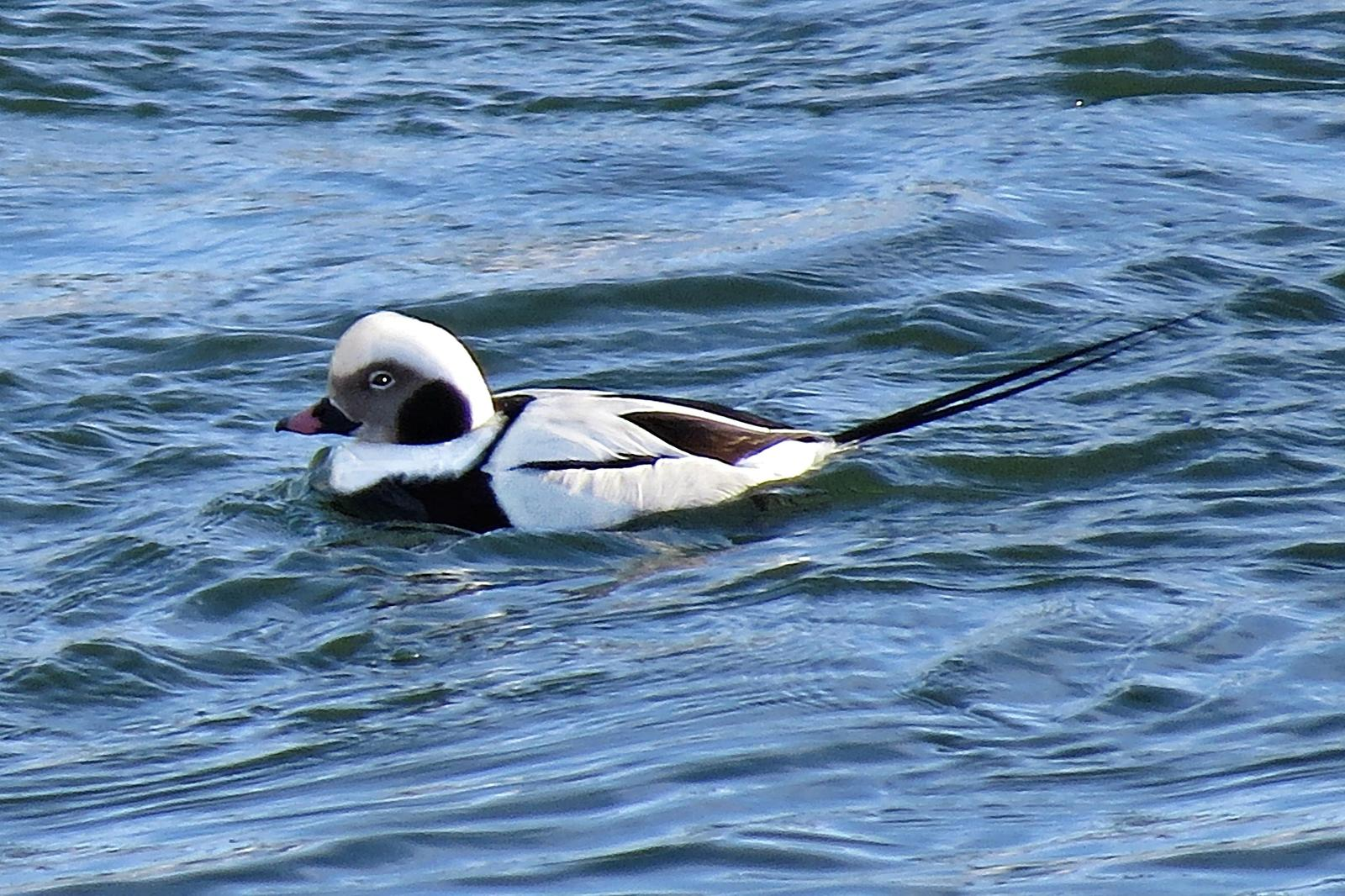 Long-tailed Duck Photo by Bob Neugebauer