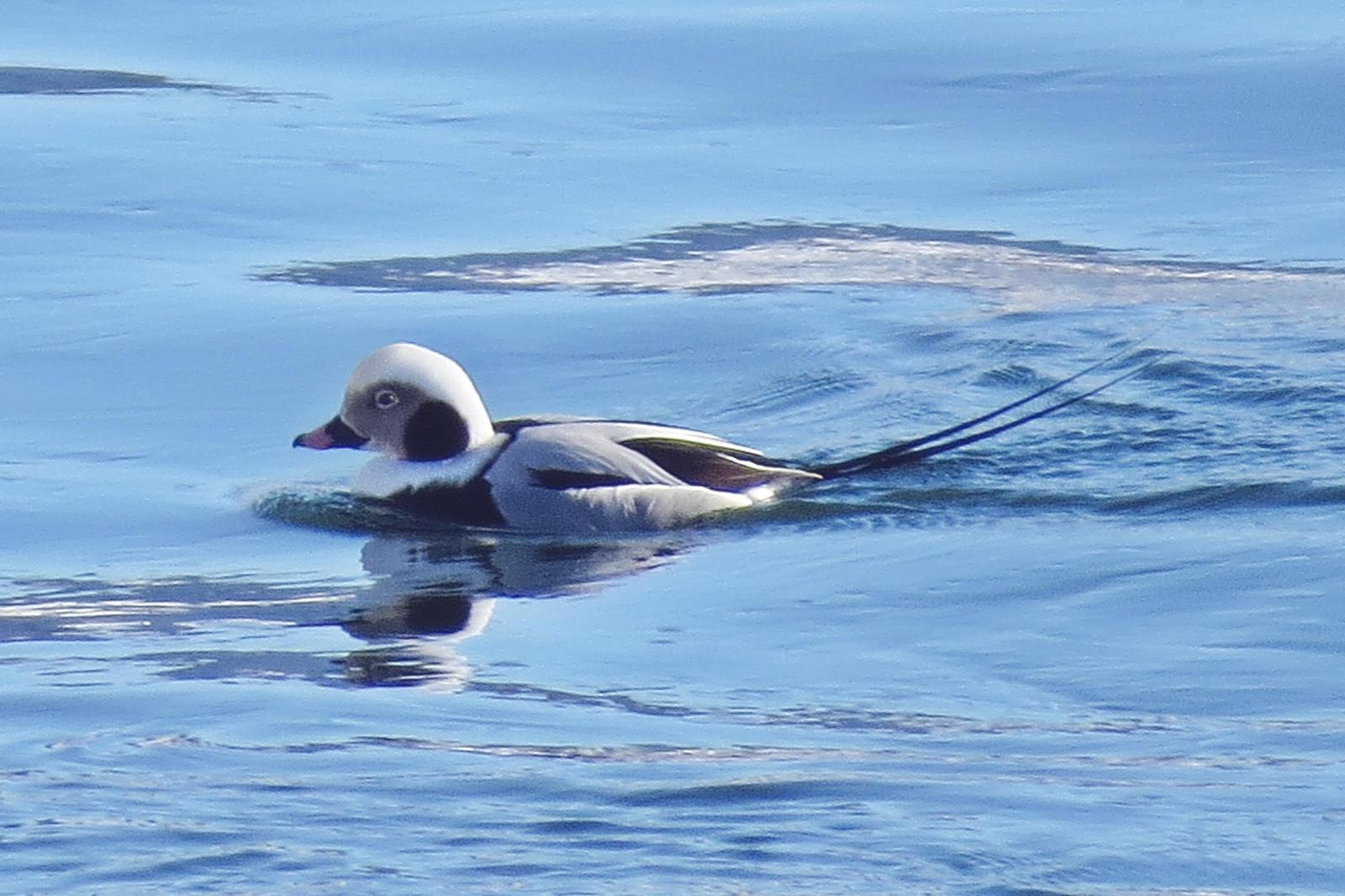 Long-tailed Duck Photo by Enid Bachman