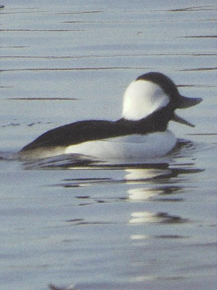 Bufflehead Photo by Dan Tallman
