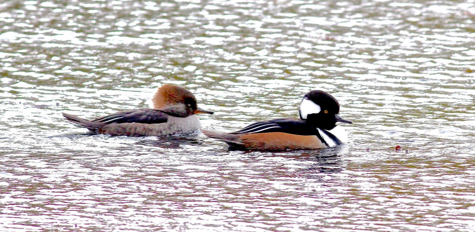 Hooded Merganser Photo by Kathryn Keith