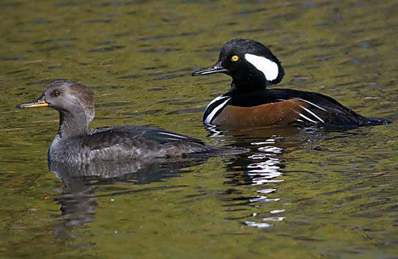 Hooded Merganser Photo by Dan Tallman