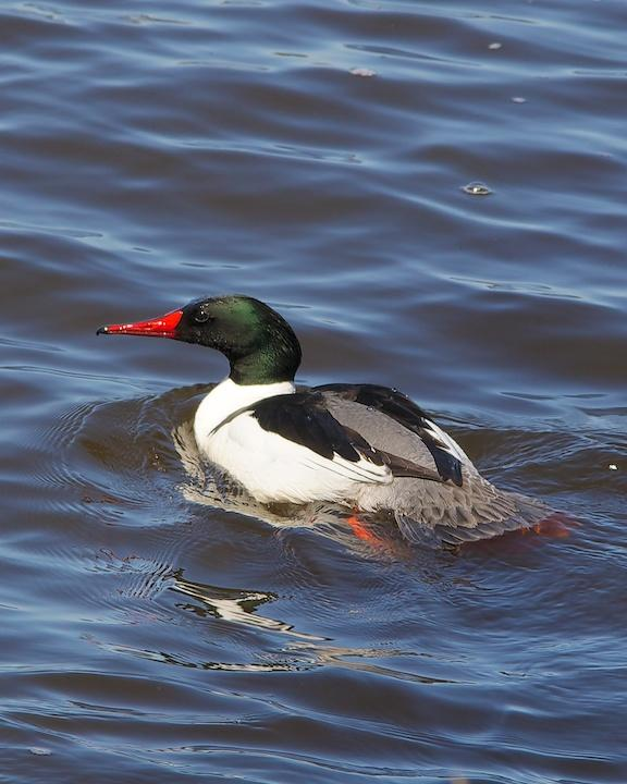 Common Merganser Photo by Denis Rivard
