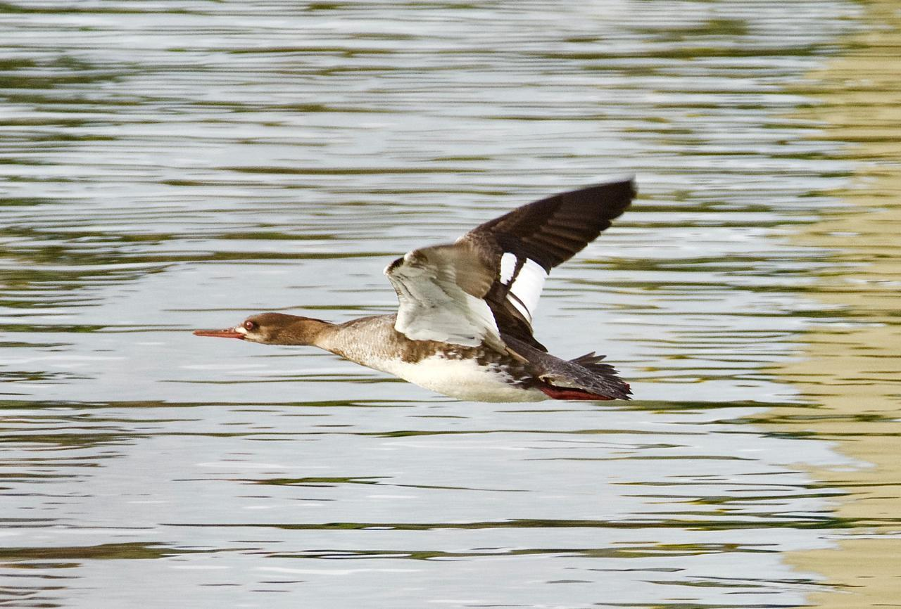 Red-breasted Merganser Photo by Brian Avent