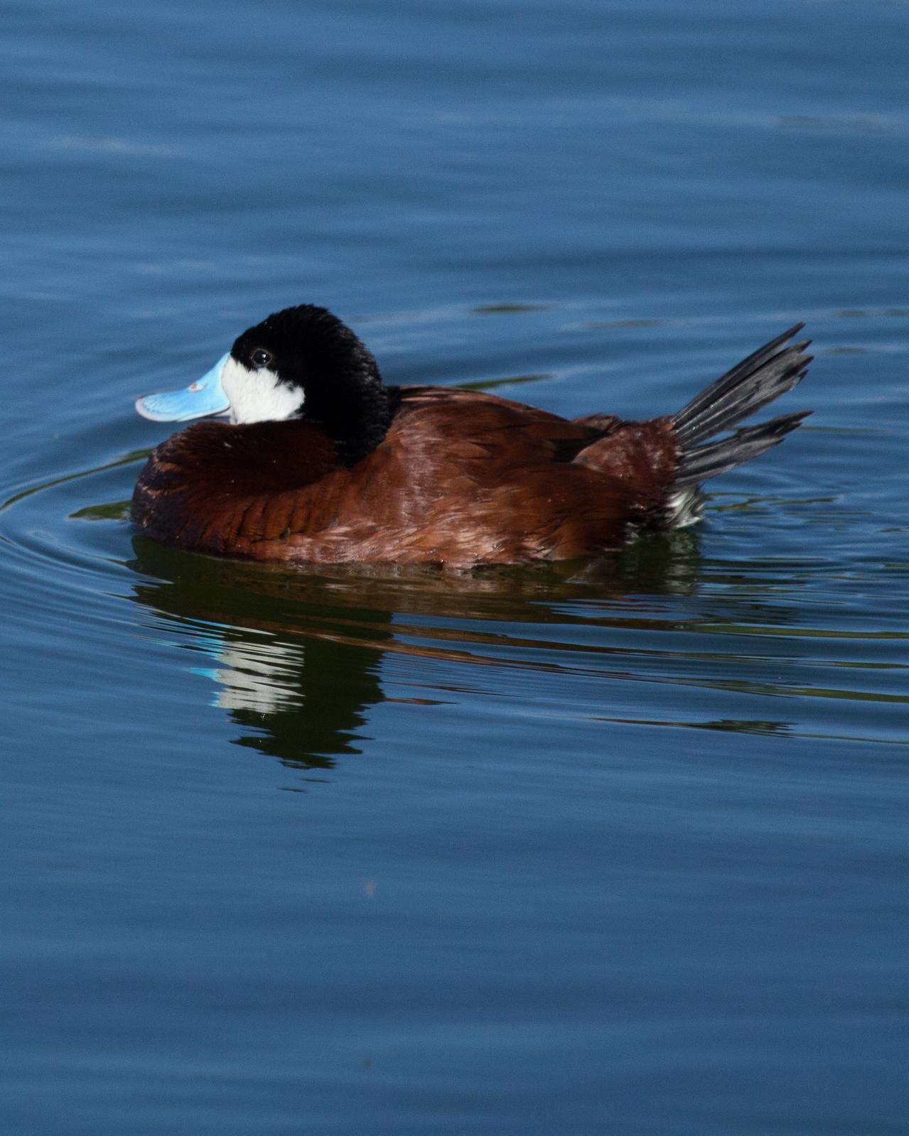 Ruddy Duck Photo by Anita Strawn de Ojeda