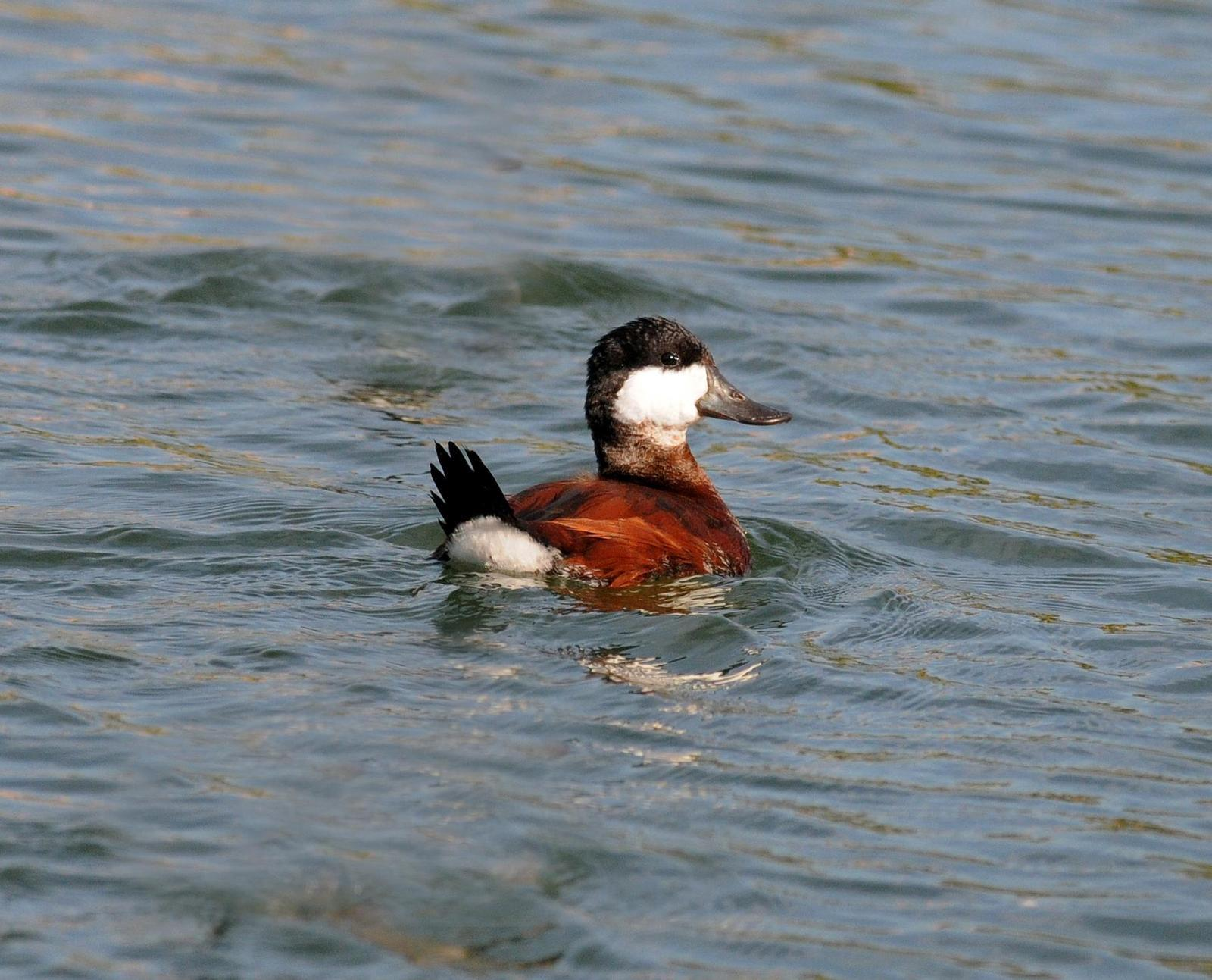 Ruddy Duck Photo by Steven Mlodinow