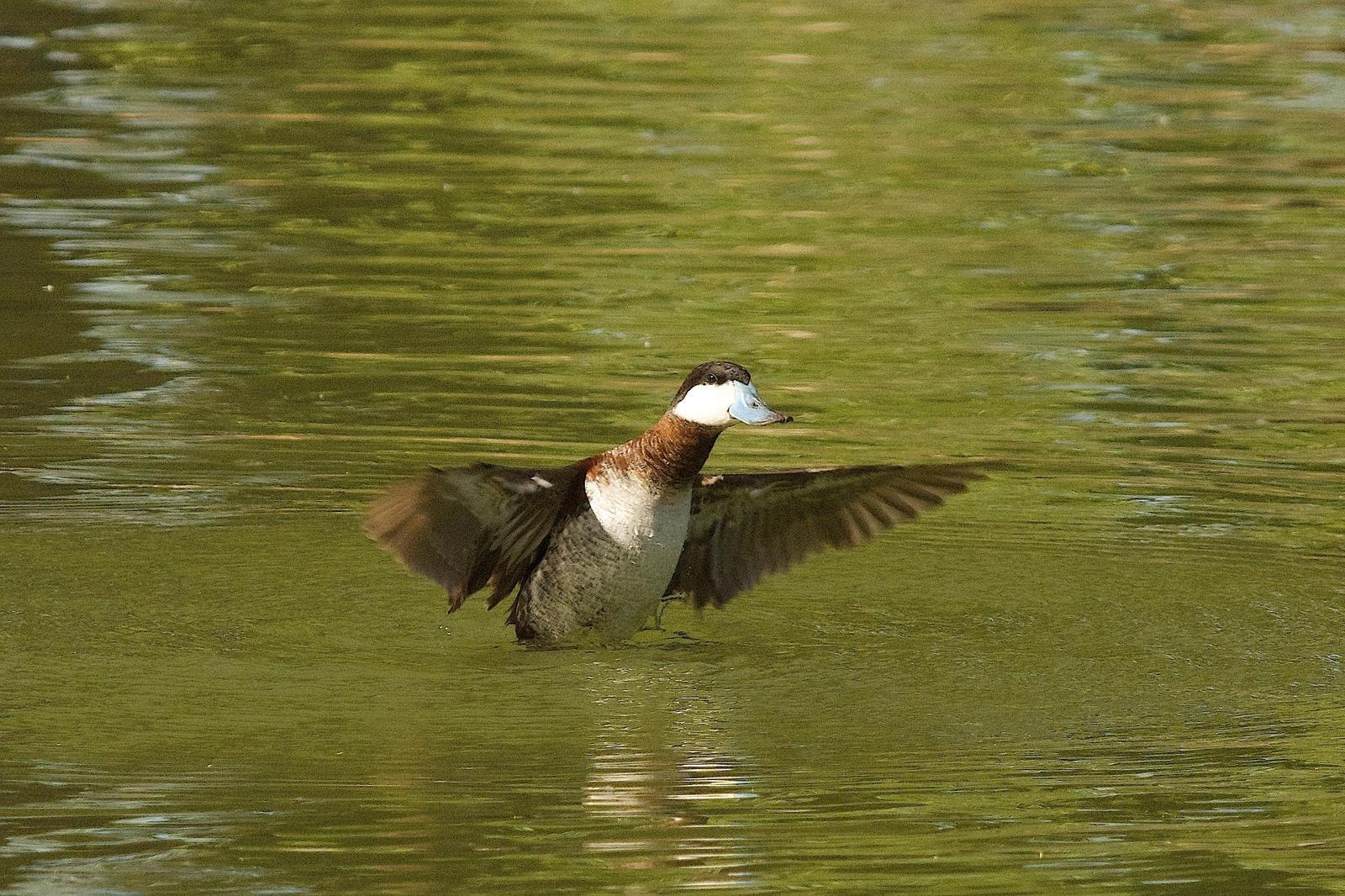 Ruddy Duck Photo by Gerald Hoekstra