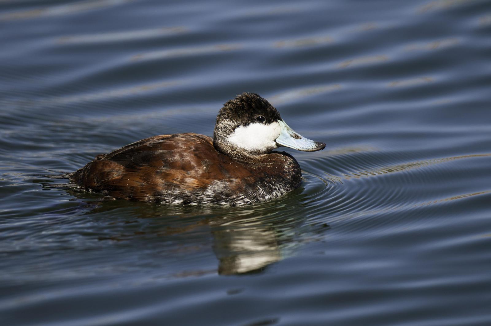 Ruddy Duck Photo by Mason Rose