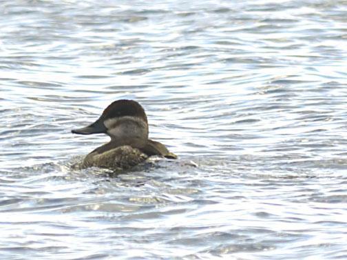 Ruddy Duck Photo by Dan Tallman