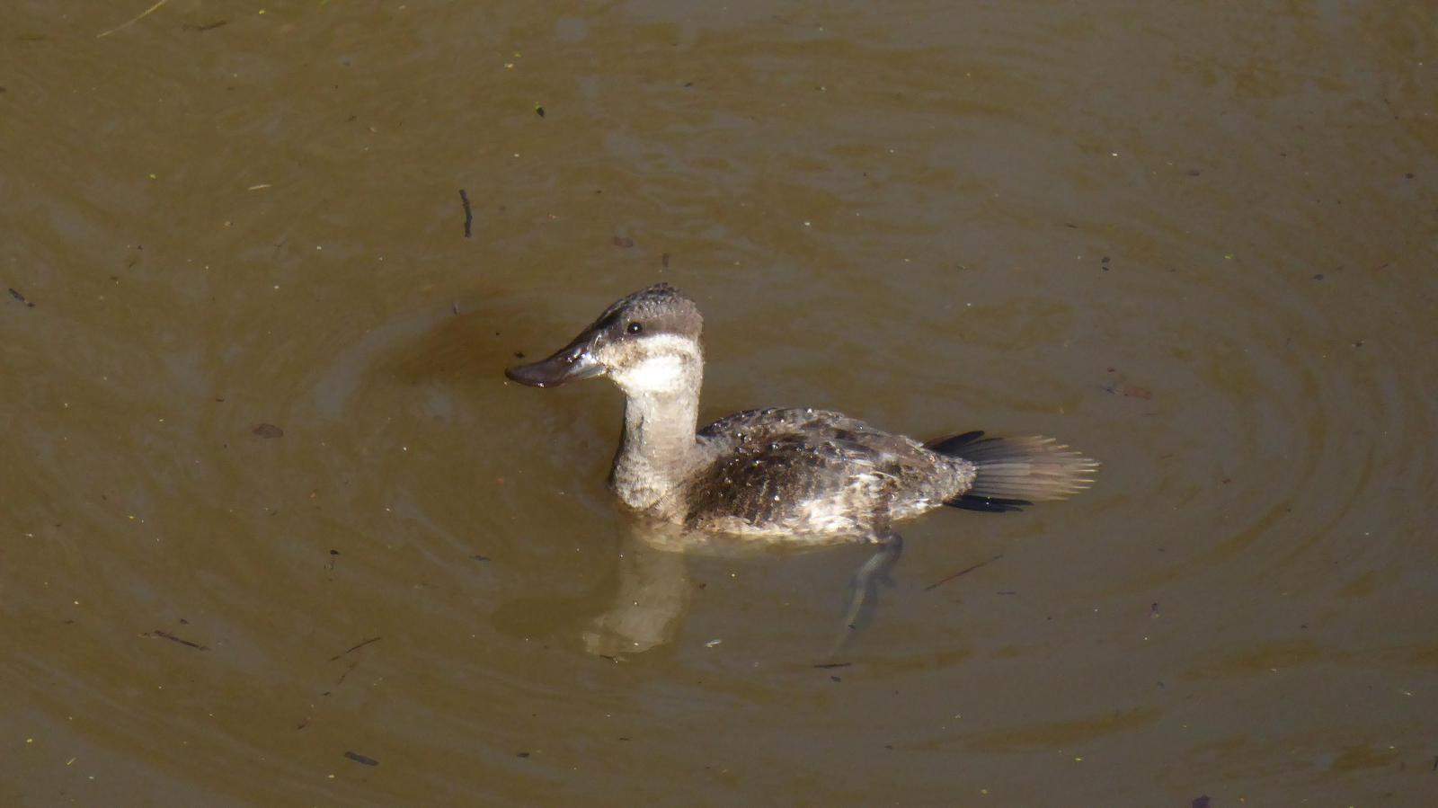 Ruddy Duck Photo by Daliel Leite