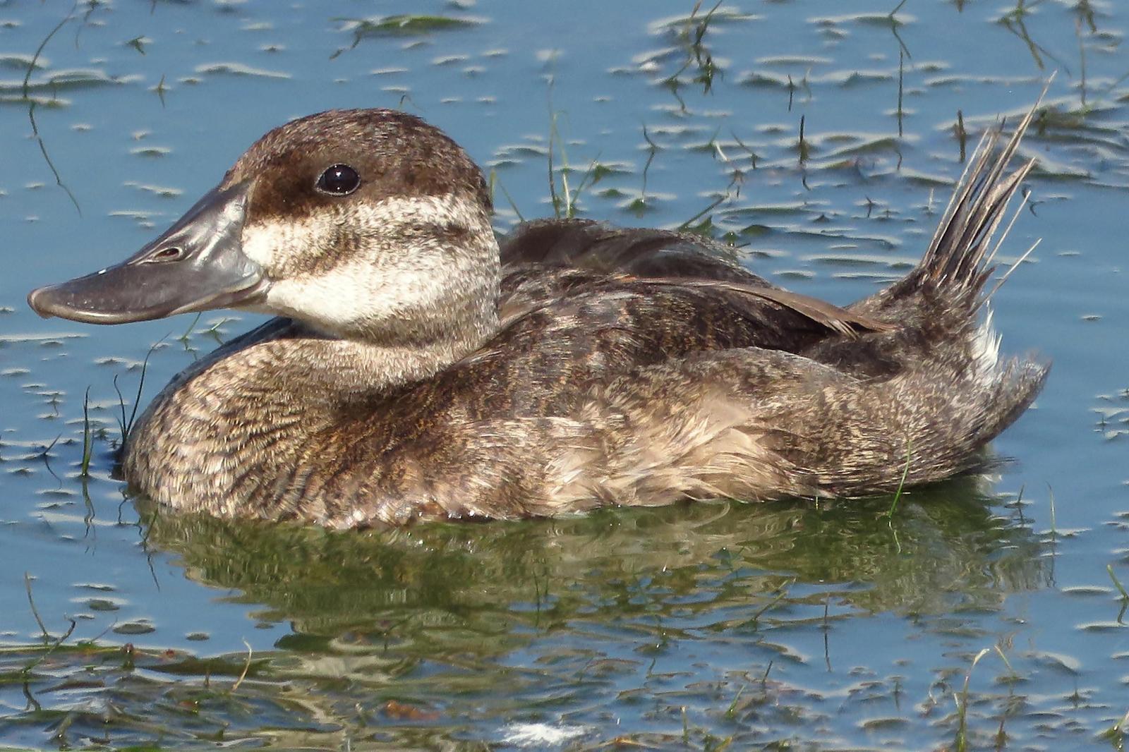 Ruddy Duck Photo by Bob Neugebauer