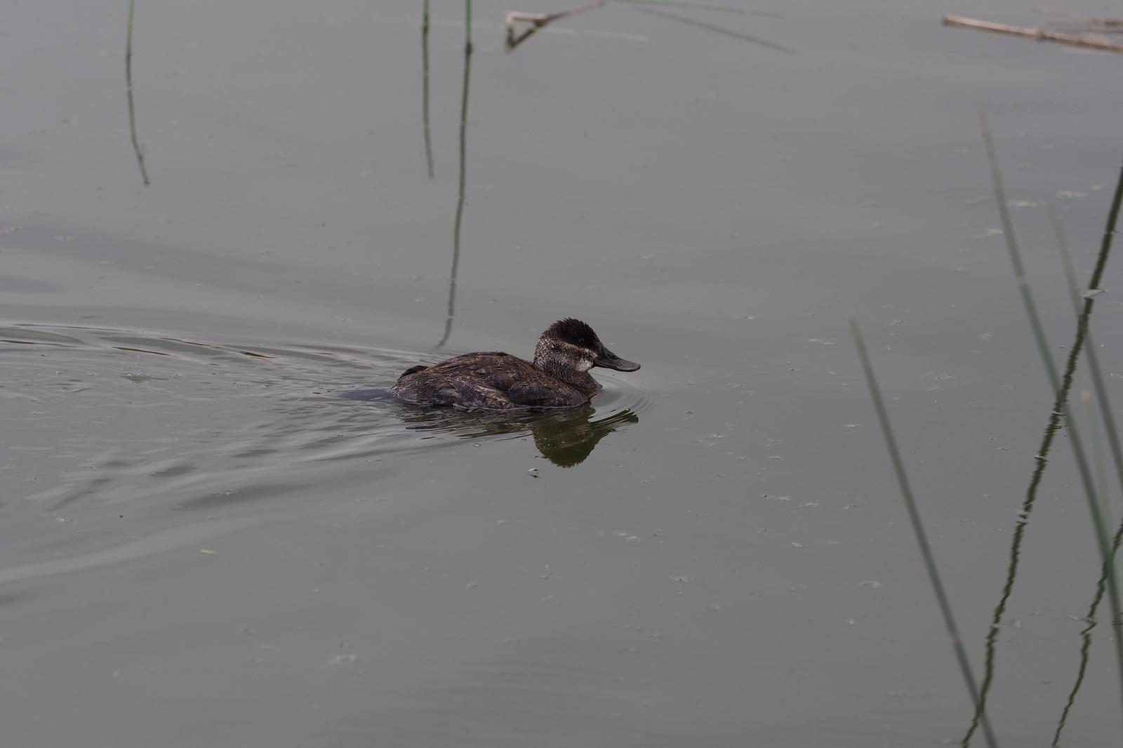 Ruddy Duck Photo by Colin Hill