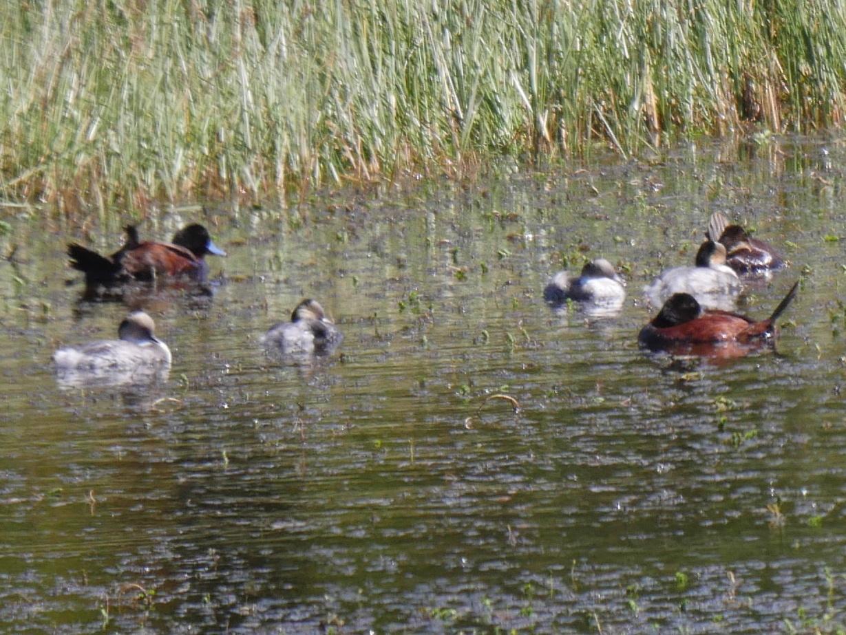Ruddy Duck Photo by Peter Lowe