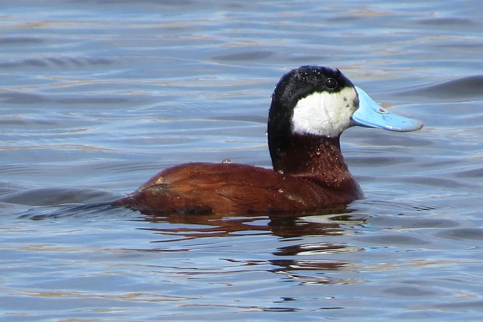 Ruddy Duck Photo by Enid Bachman
