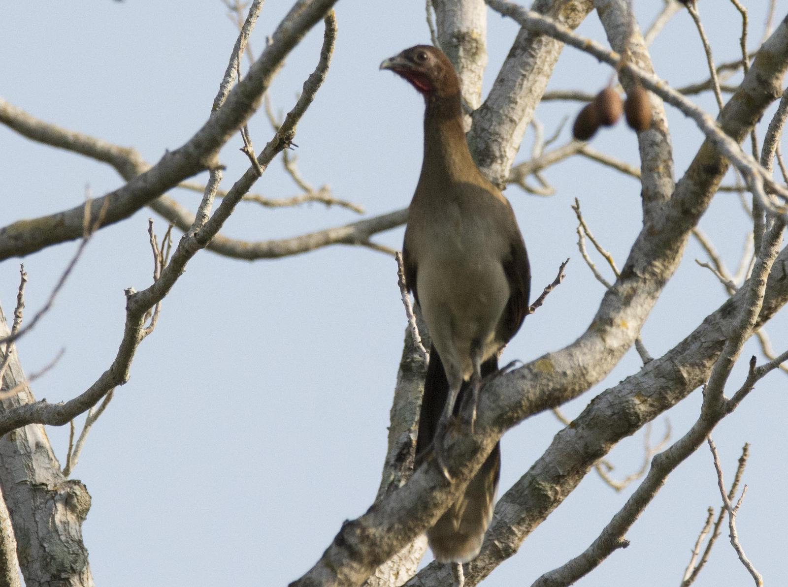 Chestnut-winged Chachalaca Photo by Jacob Zadik