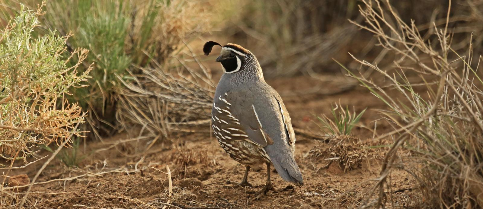 California Quail Photo by Jim  Murray
