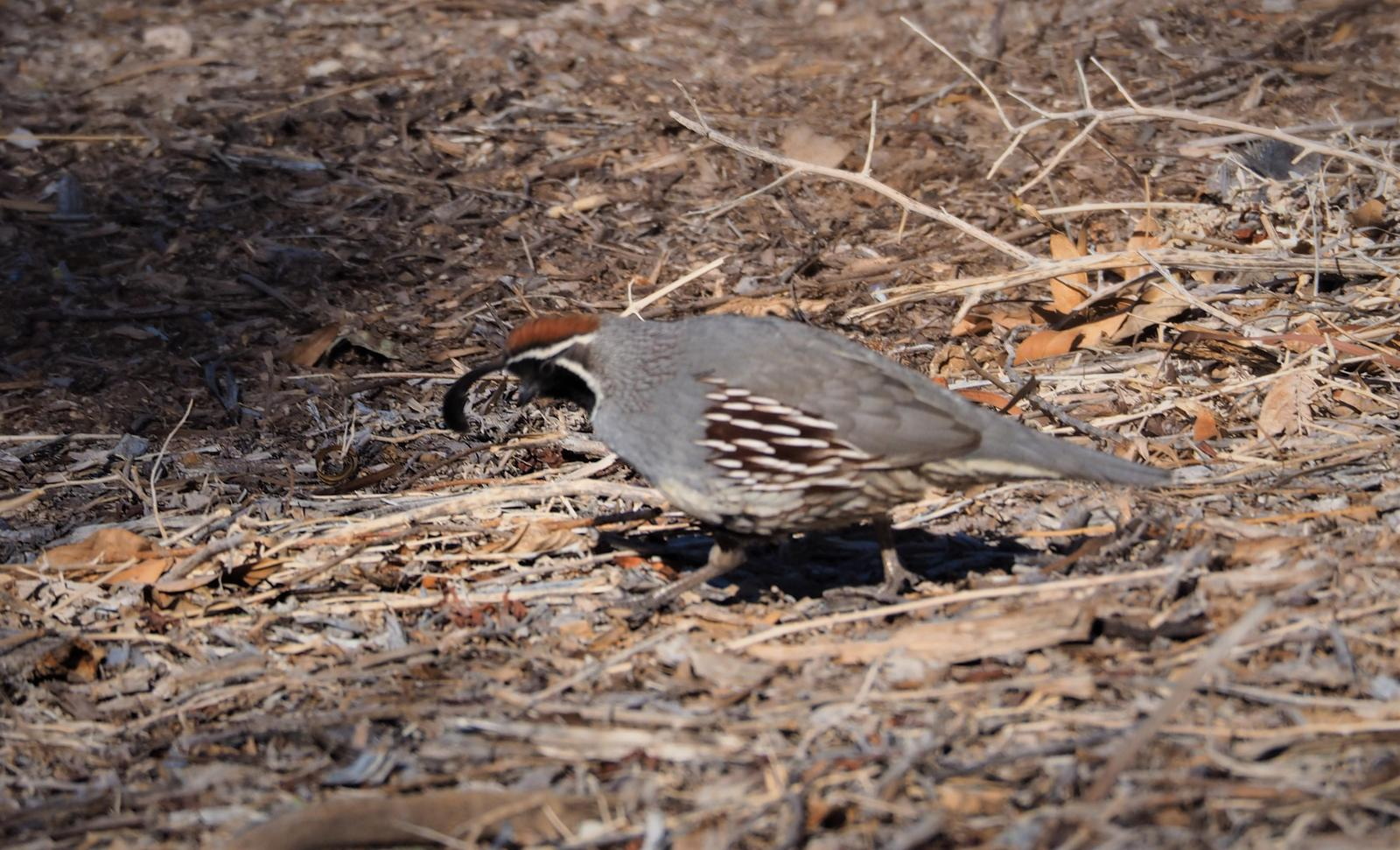 Gambel's Quail Photo by Colin Hill