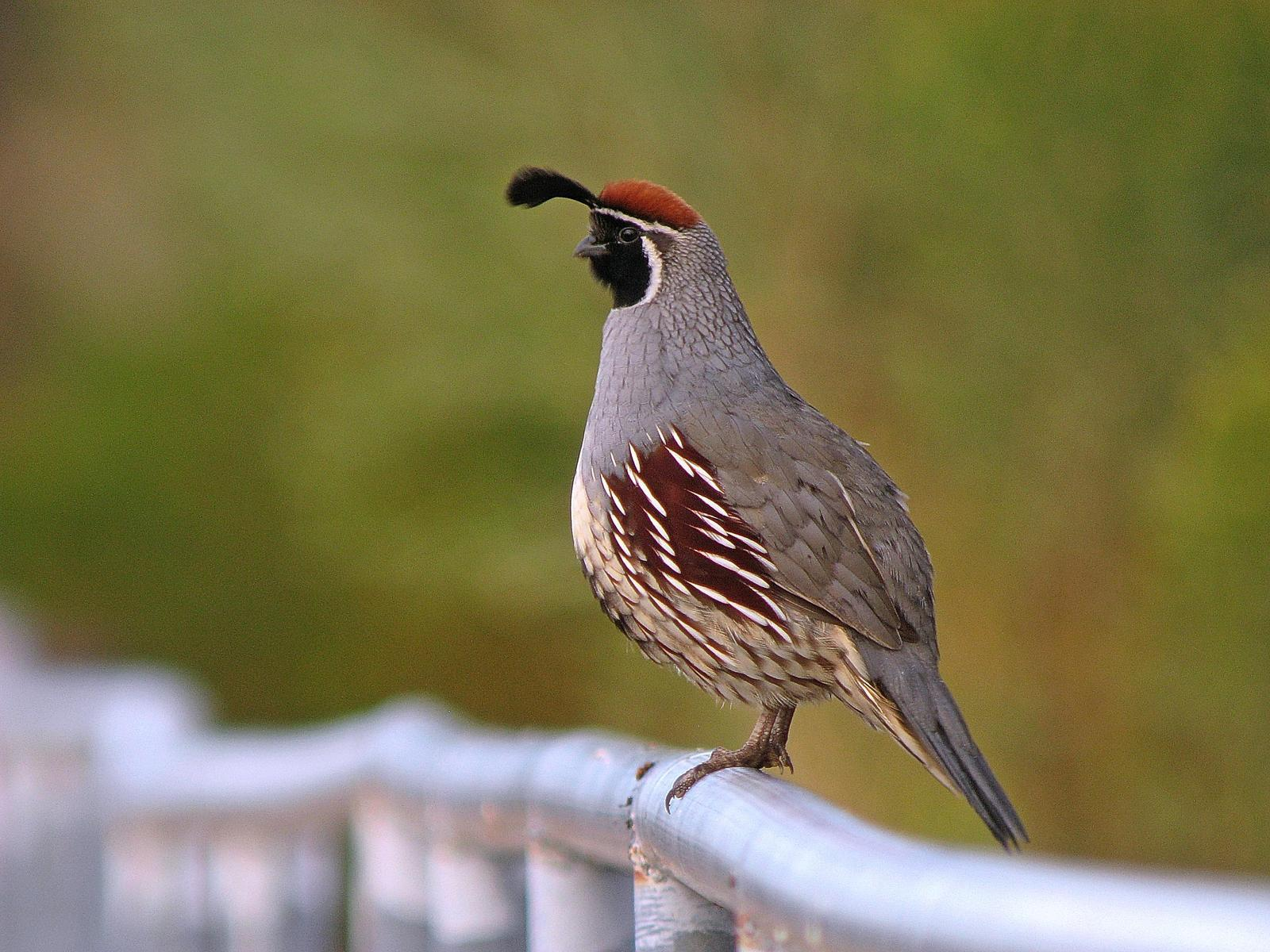 Gambel's Quail Photo by Michael Moore