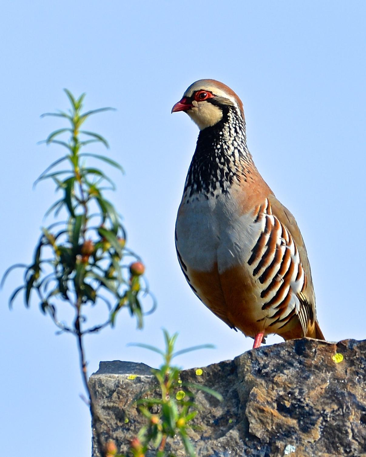 Red-legged Partridge Photo by Gerald Friesen