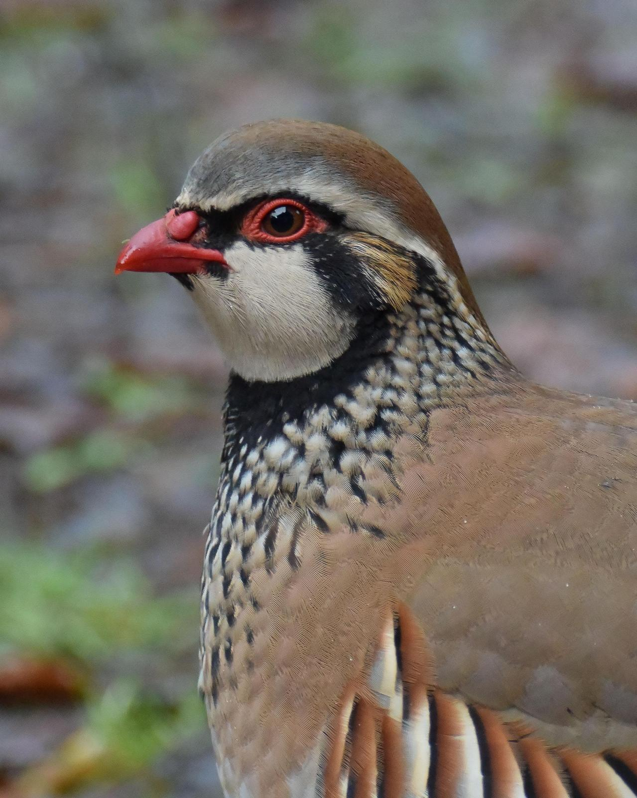 Red-legged Partridge Photo by Steve Percival