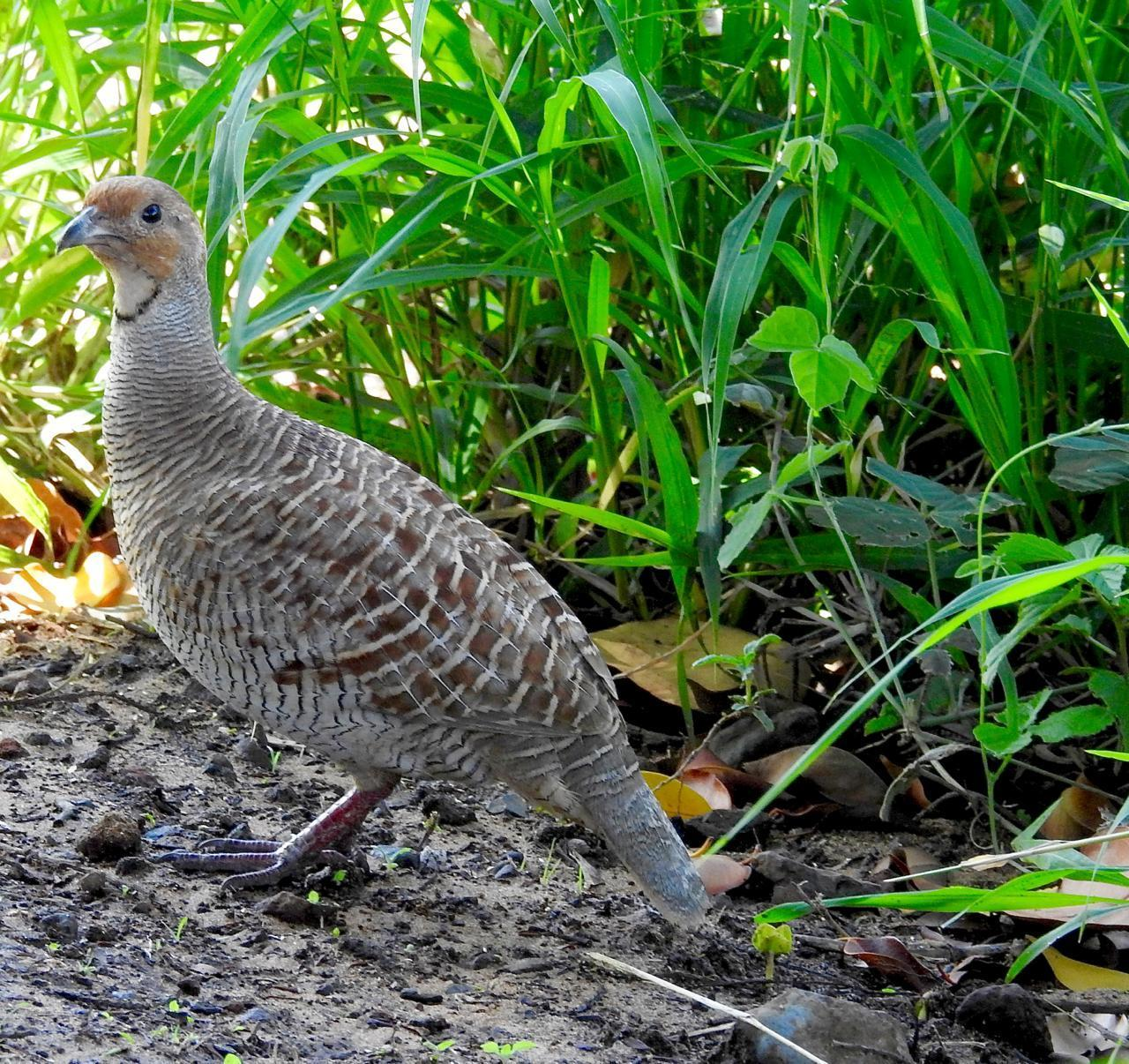 Gray Francolin Photo by Brian Avent
