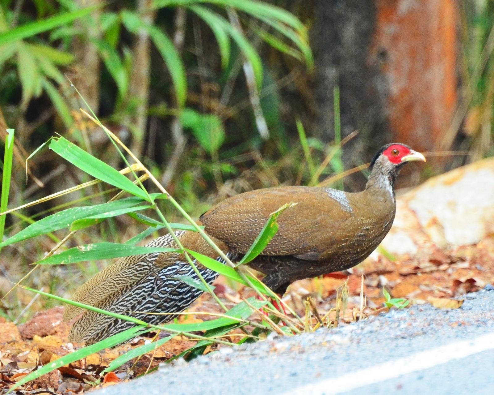 Silver Pheasant Photo by Uthai Cheummarung