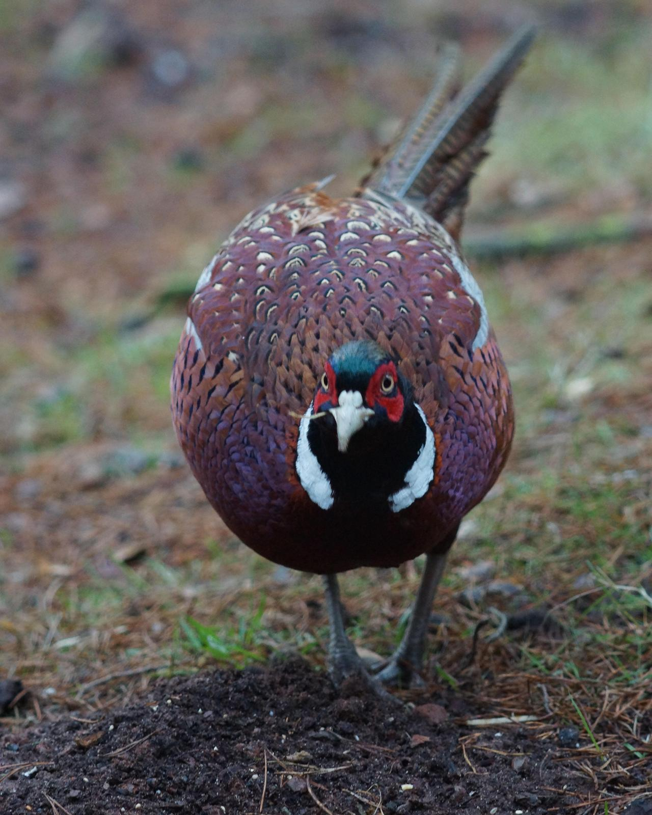 Ring-necked Pheasant Photo by Steve Percival