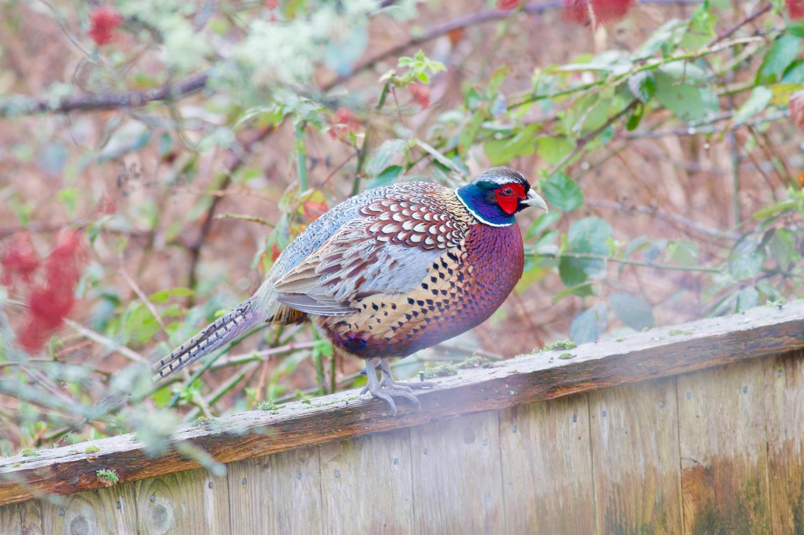 Ring-necked Pheasant Photo by Kathryn Keith