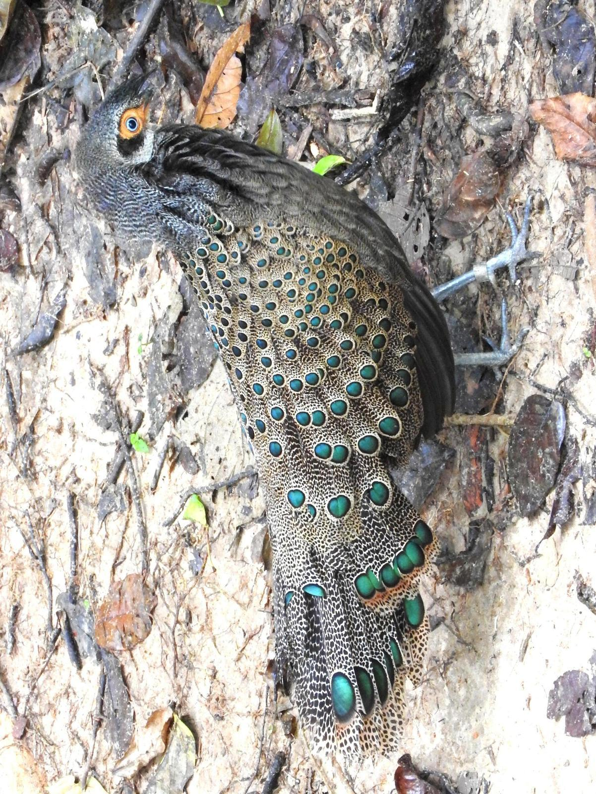 Malayan Peacock-Pheasant Photo by Todd A. Watkins