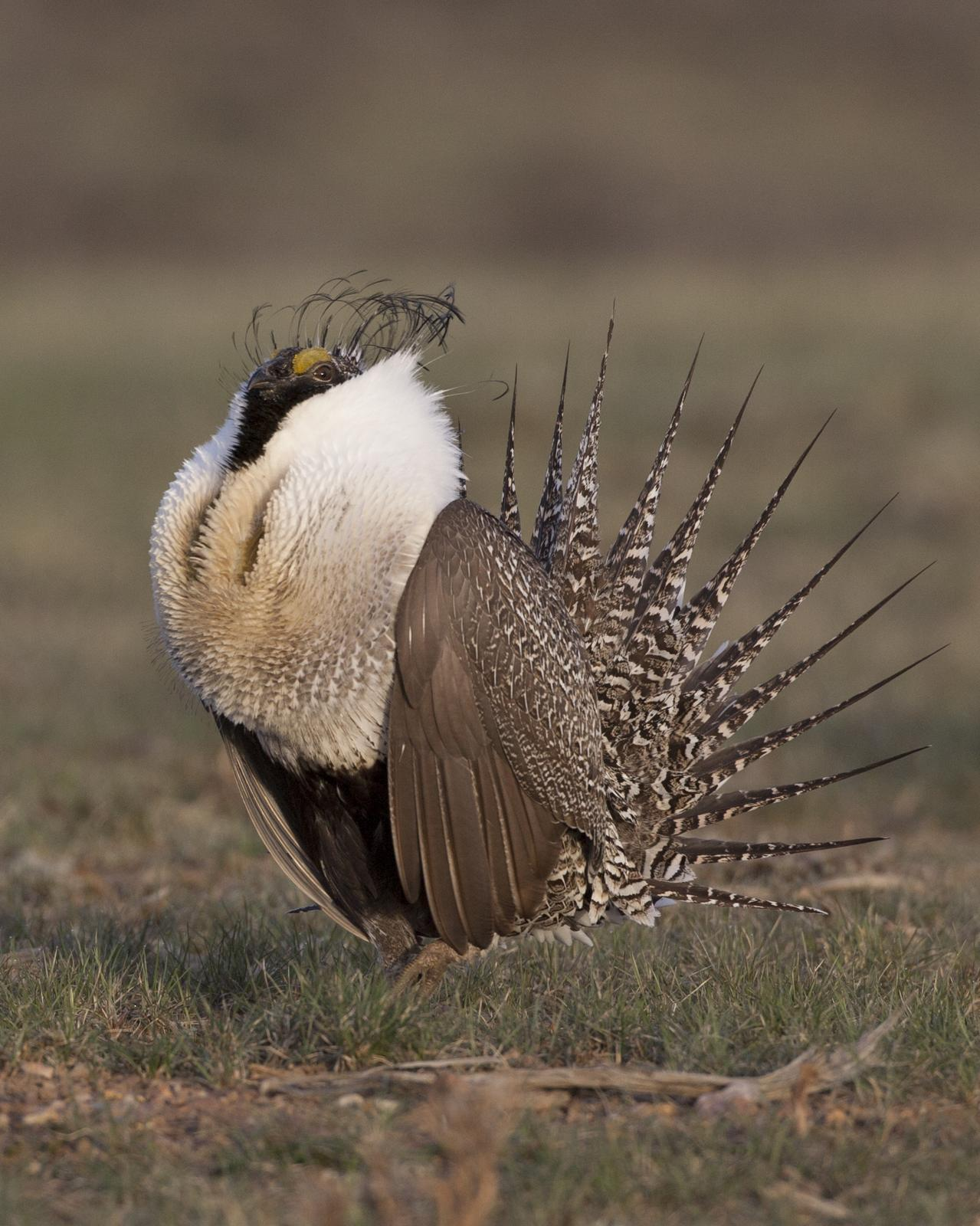 Greater Sage-Grouse Photo by Jeff Moore